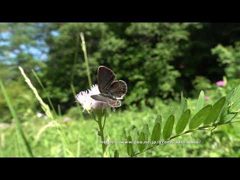 ヒメシジミの飛翔 Silver-studded blue fluttering