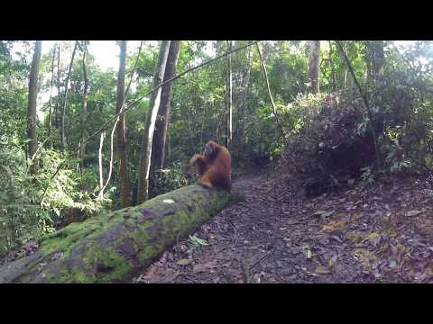 Orangutan In Bukit Lawang Jungle (Indonesia)