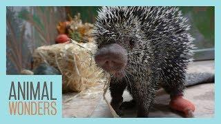 Porcupine Licks Pumpkins | Teeth Update