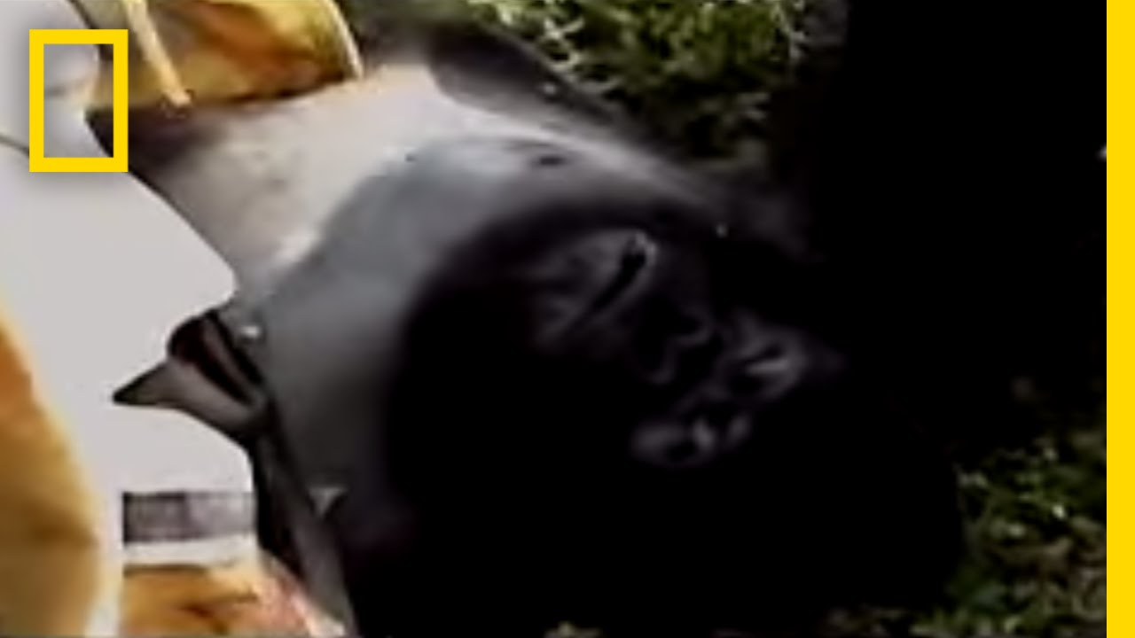 Gorilla Murders | National Geographic thumbnail