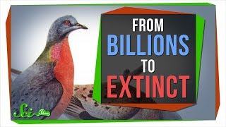 Why Billions of Passenger Pigeons Died in Under a Century - Video Youtube
