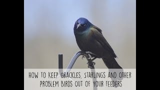 How to Keep Grackles, Starlings and Other Problem Birds Out of Your Feeders