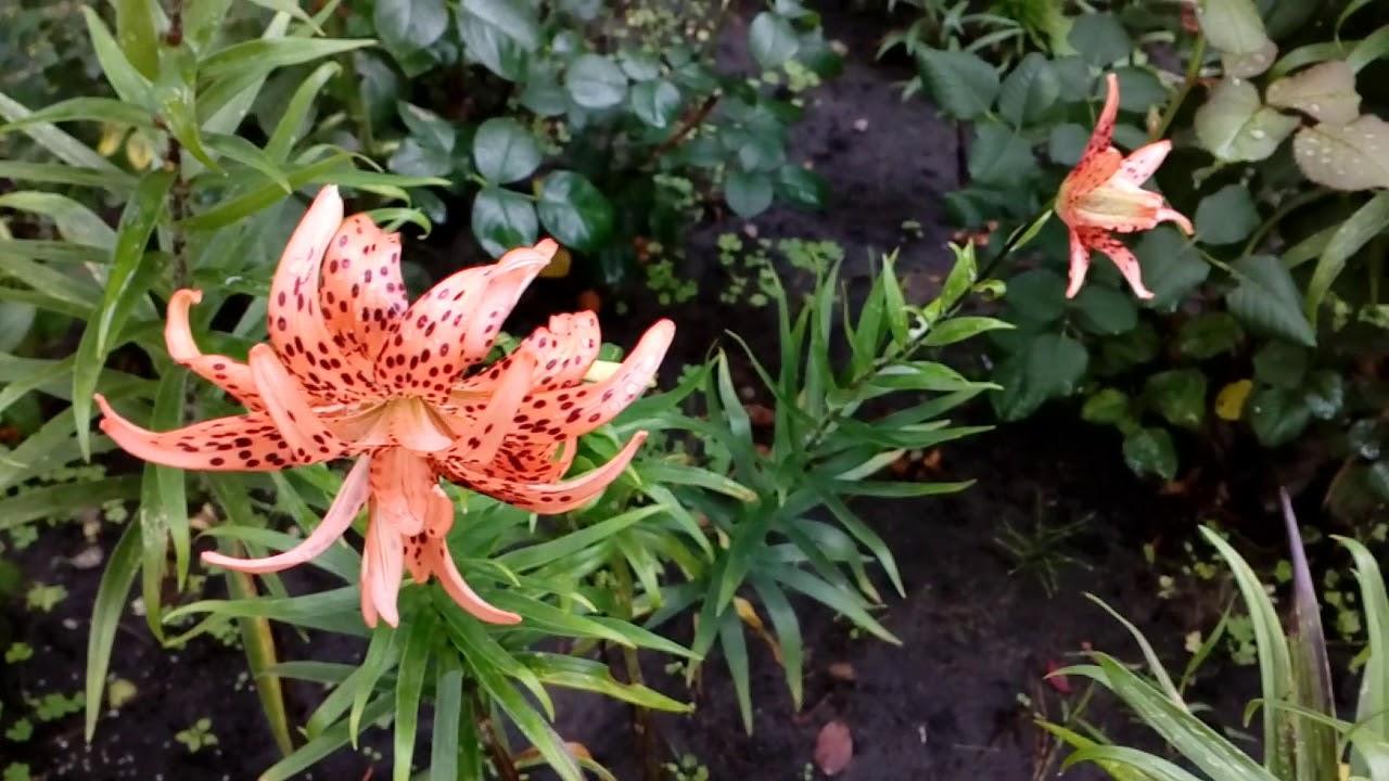 Лилия Flora Pleno. Август 2018. # мой сад# лилии
