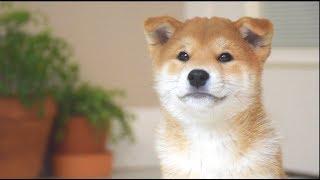 Shiba Inu Puppy First Day Home!Cuteness overloaded!