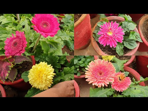 Gerbera Care Tips || How to Grow and Care Gerbera || Fun Gardening