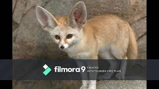 Fennec Fox Documentary