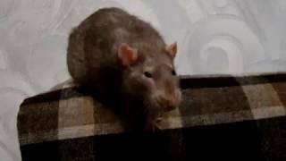 Крыса радуется общению с хозяйкой