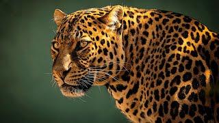 ✔ Leopardo: Adaptación y Sigilo (Panthera pardus) // Leopard Facts: Adaptation and Stealth 🐆🍃