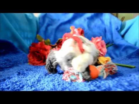 Blu AKC Blue Merle Male Cocker Spaniel Puppy for sale