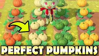 🎃 20 PUMPKIN FACTS & How To Make The PERFECT Pumpkin Patch In Animal Crossing New Horizons!