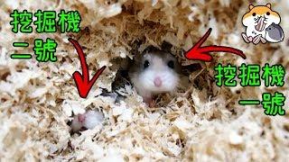 製作倉鼠超大挖掘池! 發揮倉鼠原始挖掘本能! 狂抓籠子的成因?