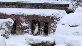A young penguin does not know what to make of the snow in Cornwall