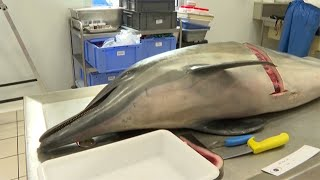 """Śmierć delfinów """"oburza"""" francuskie organizacje pozarządowe, które domagają się zaprzestania trałowania."""