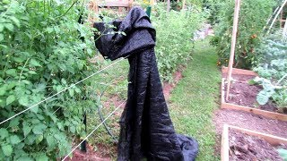 4 Tips for Managing Tomatoes in High Temperatures: Physiological Issues, Watering & Shade Cloth