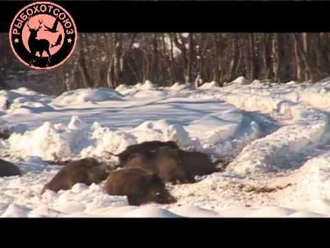 Охота на кабана Видео