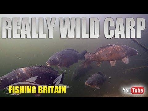 Sholling Carp under Snags