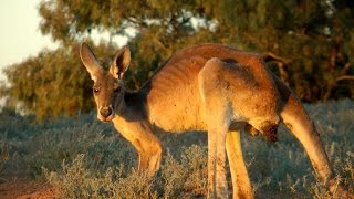 The Majestic Kangaroo of outback Australia