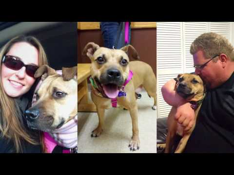 Lady Maybelline - Gentle & Loving, an adopted Pit Bull Terrier in Cranston, RI