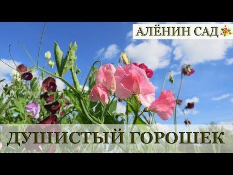Душистый горошек от посева до цветения / Выращивание горошка