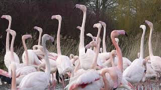 Greater flamingo courtship display