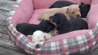 Sam's 3 Week Old Chihuahua Pups for Sale, Fredericksburg,VA