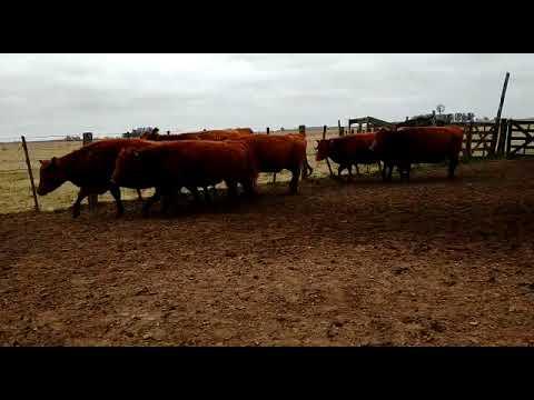 Imagen 1 jaula de vacas nuevas en Mercedes