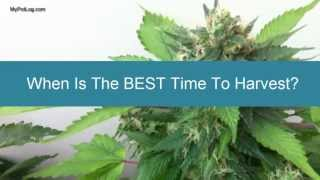 When is Best Time To Harvest Marijuana - Cannabis Home Grow