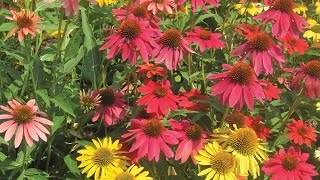 Growing Coneflowers