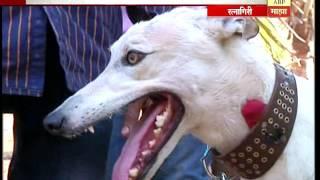 स्पेशल रिपोर्ट : रत्नागिरीत कुत्र्यांच्या शर्यतीचा तुफान थरार!