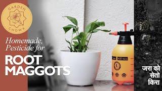 How to Make Pesticide for Root Maggots || घर मा बनाउने जरा को सेतो किरा को लागि पेस्टीसाइड ||
