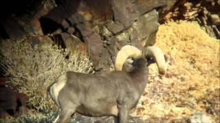 How to Field Judge and Score Desert Bighorn Sheep 4