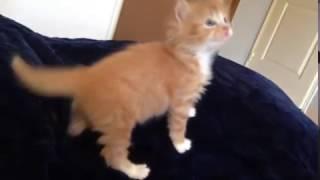 Kitten Cat Antoshka