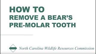 Bear pre molar