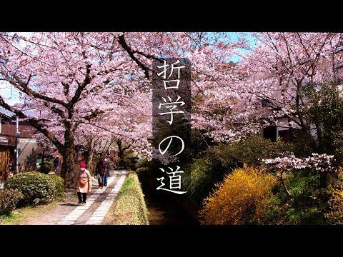 【京都 桜の名所】哲学の道 : Philosopher's Path and Cherry Blossom(Kyoto, Japan)