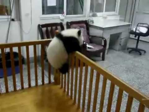 Cute Overload: Baby Panda Makes Escape!