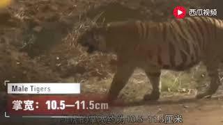 """老虎偶遇狮子,两者瞬间开撕!到底谁才是""""万兽之王""""?"""