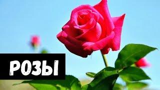 Сон Роза видео -К чему снятся РОЗЫ или видеть РОЗУ во сне