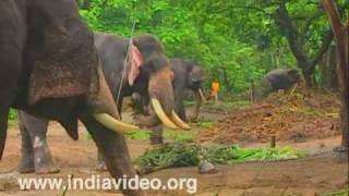 Elephants at Punnathoorkotta Anathavalam