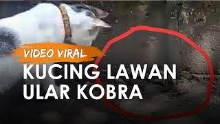 Viral Video Kucing Peliharaan Lawan Ular Kobra, Pemilik: Kepalanya Digigit sampai Mati