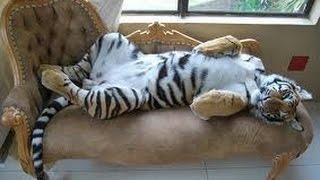 Бенгальский домашний тигр как член семьи