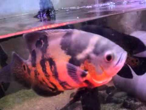Video red oscar makan guppy.flv