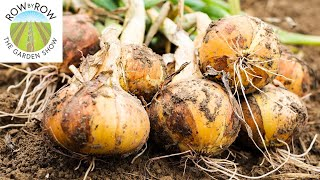 WHEN SHOULD YOU BE PLANTING ONIONS? THE ULTIMATE GUIDE!