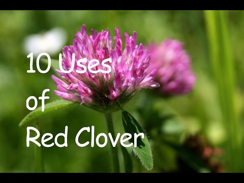 Video 10 USES OF RED CLOVER