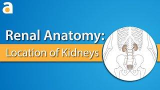 Renal Anatomy: Location of Kidneys