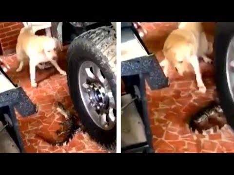 Family Dog Freaks Out After Spotting Alligator in Garage