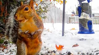 Winter Wonderland Squirrels and Birds - A Video Spectacle For Cats to Watch