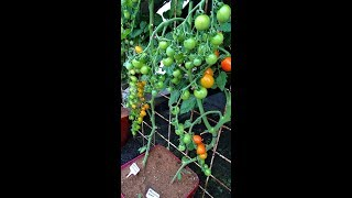 Tomaten in een pot,  het geheim voor een groote oogst.