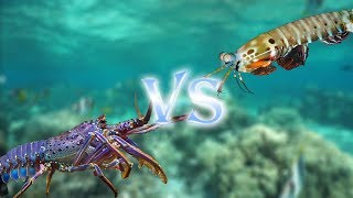 Japanese Spiny Lobster VS Mantis Shrimp (Shako)