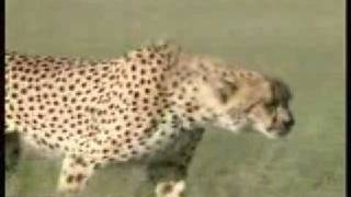 The fastest animal in the world: the Cheetah