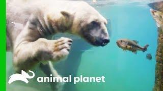 Polar Bears Show Off Their Hunting Abilities | The Zoo: San Diego